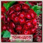 Гвоздика турецкая Дэш Кримсон, 100 драже Профессиональная упаковка