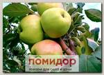Яблоня карликовая БРАТЧУД, 1 шт.