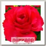 Роза грандифлора БАТТЕРФЛЯЙ, 1 шт. NEW
