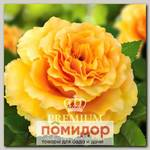 Роза Премиум ДИВА, 1 шт. NEW
