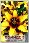 Лилия азиатская BUMBLEBEE, 2 шт. NEW