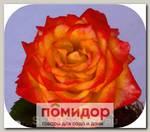 Роза чайно-гибридная КРЕЙЗИ ДЕЙЗИ, 1 шт. NEW
