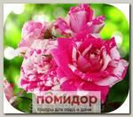 Роза Спрей ФЛЕШИНГ, 1 шт. NEW