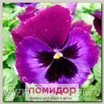 Виола крупноцветковая Дельта Неон Виолет, 100 шт. Профессиональная упаковка
