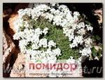 Арабис кавказский Сноуфикс, 250 шт. Профессиональная упаковка
