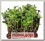 Набор для выращивания микрозелени Капуста Кале Тинторето/Скарлет (смесь сортов)