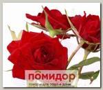 Роза Спрей ПЕРСИФОНА, 1 шт. NEW