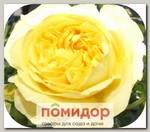 Роза Спрей САНЛАЙТ РОМАНТИКА, 1 шт. NEW