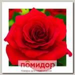 Роза грандифлора РАПСОДИЯ, 1 шт. NEW