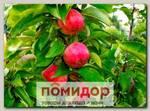 Яблоня колонновидная ВАСЮГАН, 1 шт.