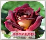 Роза чайно-гибридная ЭДЖЕ МИЧЧЕЛЬ, 1 шт. NEW