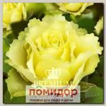 Роза Премиум ОЛИВИЯ, 1 шт. NEW