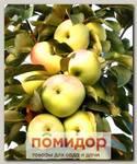 Яблоня колонновидная МЕДОК, 1 шт.