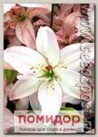 Лилия азиатская махровая SPRING PINK, 2 шт.