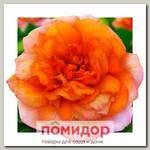Роза грандифлора КАРАМЕЛЬНАЯ МЕЧТА, 1 шт. NEW