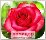 Роза чайно-гибридная РОЗБЕРИ, 1 шт. NEW