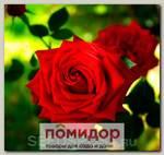 Роза чайно-гибридная ВИНСЕНТ, 1 шт. NEW