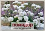 Армерия приморская Монинг Стар Вайт, 250 шт. Профессиональная упаковка