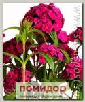 Гвоздика турецкая Дэш Виолет, 100 драже Профессиональная упаковка