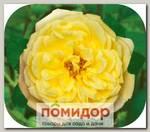 Роза парковая ГОЛДЕН СЕЛЕБРЕЙШН, 1 шт. NEW
