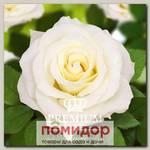 Роза Премиум БЕЛИССИМО, 1 шт. NEW