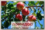 Яблоня карликовая ПРИЗЕМЛЕННОЕ, 1 шт.