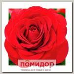 Роза грандифлора КОРОЛЕВСКИЙ БАРХАТ, 1 шт. NEW