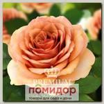 Роза Премиум КАМЕЯ, 1 шт. NEW