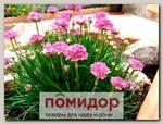 Армерия приморская Монинг Стар Дип Роуз, 250 шт. Профессиональная упаковка