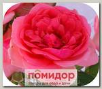 Роза парковая РОЗОВАЯ МЕЧТА, 1 шт. NEW