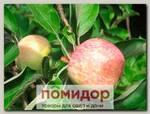 Яблоня обыкновенная КОНФЕТНОЕ, 1 шт.