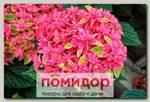 Гортензия крупнолистовая ПРИНЦЕССА ДИАНА, 1 шт. ЛЮКС