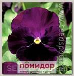Виола крупноцветковая Колоссус Парпл виз Блотч, 100 шт. Профессиональная упаковка