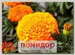 Бархатцы прямостоячие Тайшан Оранж, 100 шт. Профессиональная упаковка