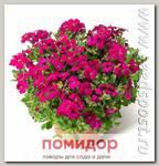 Аубреция гибридная Одри Ред, 250 шт. Профессиональная упаковка
