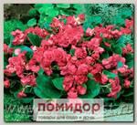 Бегония вечноцветущая махровая Квин Роуз, 100 шт. Профессиональная упаковка
