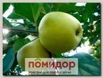 Яблоня обыкновенная АНТОНОВКА, 1 шт.