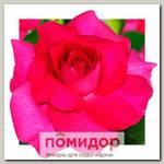 Роза грандифлора КРЕЙЗИ МОНИКА, 1 шт. NEW
