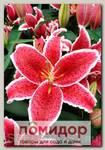 Лилия восточная RED EYES, 2 шт. NEW
