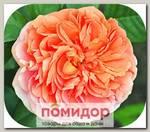 Роза плетистая ЧИП ЭНД ДЕЙЛ, 1 шт. NEW