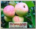 Яблоня обыкновенная ГРУШОВКА МОСКОВСКАЯ, 1 шт.