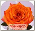 Роза Спрей ПЕРСИКОВЫЙ ЛИКЕР, 1 шт. NEW
