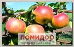 Яблоня обыкновенная РОЖДЕСТВЕНСКОЕ, 1 шт.