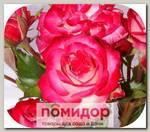 Роза Спрей КРЕЙЗИ ВУМЕН, 1 шт. NEW