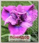 Ирис сибирский SPINDAZZLE, 1 шт.