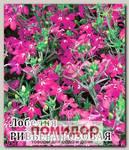 Лобелия Ривьера Розовая, 250 шт. Профессиональная упаковка