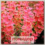 Барбарис Тунберга ОРИНДЖ САНРАЙЗ, 1 шт. ЛЮКС