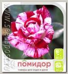 Роза Спрей ИГЛЕСИАС, 1 шт.
