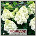 Гортензия метельчатая ГЕРКУЛЕС, 1 шт. ЛЮКС