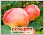 Яблоня обыкновенная ОРЛОВСКИЙ ПИОНЕР, 1 шт.